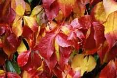红色和黄色秋叶细节用水下降 免版税库存照片