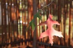 红色和黄色秋天橡木叶子 库存图片