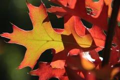 红色和黄色秋天橡木叶子 库存照片
