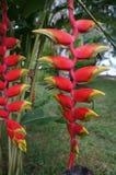 红色和黄色秘鲁密林果子 免版税库存照片