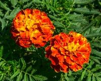红色和黄色花多年生植物翠菊 图库摄影