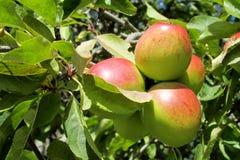 红色和绿色苹果在树结果实 免版税图库摄影
