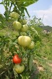 红色和绿色蕃茄 库存照片