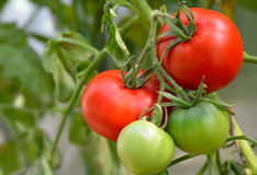 红色和绿色蕃茄 免版税库存照片