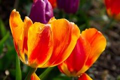 红色和黄色郁金香在公园,关闭开花  免版税库存照片