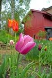 红色和紫色郁金香在庭院里 库存照片