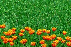 红色和黄色郁金香在庭院里 库存图片