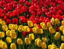 红色和黄色郁金香域 免版税库存照片
