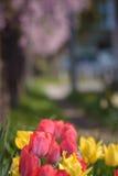 红色和黄色郁金香有樱桃树背景 图库摄影