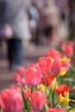 红色和黄色郁金香有樱桃树背景 免版税库存图片