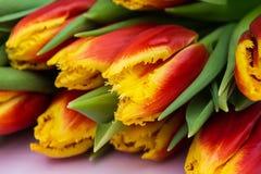 红色和黄色郁金香美丽的花束在桃红色木背景的 关闭 免版税图库摄影