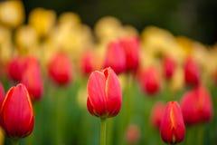 红色和黄色郁金香背景  免版税库存图片