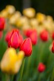 红色和黄色郁金香背景  图库摄影