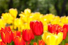 红色和黄色郁金香背景  免版税图库摄影