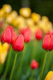 红色和黄色郁金香背景  免版税库存照片