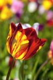 红色和黄色郁金香花宏指令 库存图片
