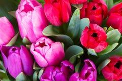 红色和紫色郁金香花 免版税库存图片