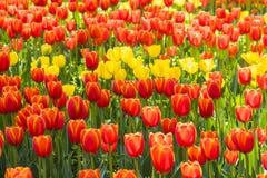 红色和黄色郁金香花 免版税库存照片