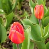 红色和黄色郁金香芽 宏指令 库存照片