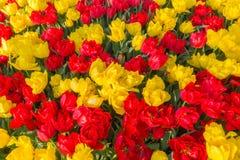 红色和黄色郁金香 免版税库存图片