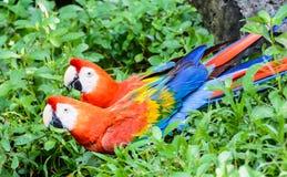 红色和绿色金刚鹦鹉夫妇  免版税库存照片