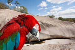 红色和绿色金刚鹦鹉鸟 免版税库存图片