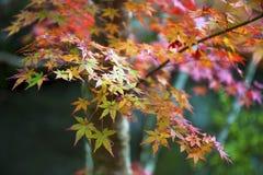 红色和黄色鸡爪枫离开在秋天期间在京都, Jap 免版税库存图片