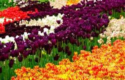 红色和黄色,紫色,白色和红色郁金香的领域 免版税库存照片
