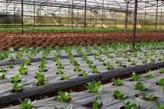 红色和绿色莴苣行自温室在越南 库存图片