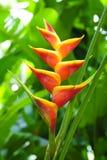 红色和黄色Heliconia 免版税库存图片