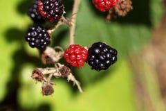 红色和黑黑莓果子 库存图片