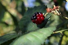 红色和黑黑莓 库存照片
