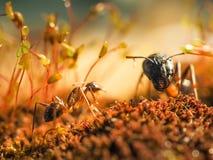 红色和黑蚂蚁在叶子,蚂蚁战斗 免版税库存图片
