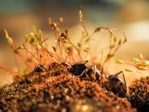 红色和黑蚂蚁在叶子,蚂蚁战斗 免版税库存照片