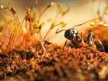 红色和黑蚂蚁在叶子,蚂蚁战斗 图库摄影