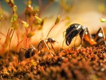 红色和黑蚂蚁在叶子,蚂蚁战斗 库存图片