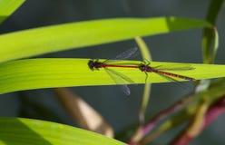 红色和黑蜻蜓-与男性的纵排对 免版税图库摄影