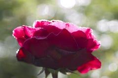 红色唐璜罗斯饰以珠宝与露水 库存照片