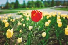 红色唯一郁金香 库存图片