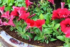红色喇叭花在庭院里 免版税库存照片