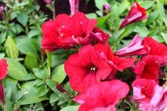 红色喇叭花在庭院里 免版税库存图片