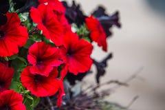 红色喇叭花 库存图片