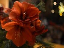 红色圣约瑟夫` s百合花束  免版税库存照片