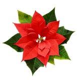 红色圣诞节一品红花 库存图片
