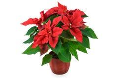 红色圣诞节一品红 免版税库存图片