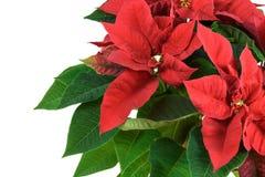 红色圣诞节一品红 免版税库存照片