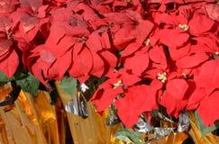 红色圣诞节一品红 图库摄影
