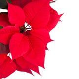 红色圣诞节花一品红 库存照片