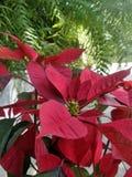 红色圣诞节花和绿色蕨在热带庭院里 库存照片