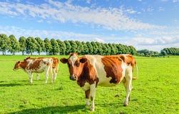 红色在一个绿色草甸察觉了母牛夏令时 免版税库存图片